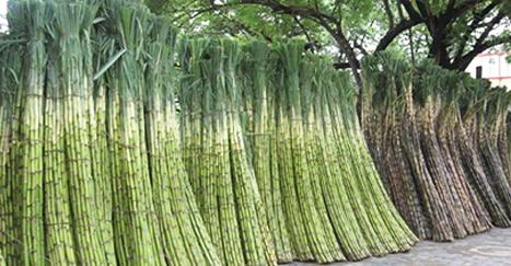 sugar-cane